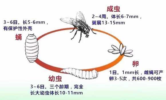 养殖场蚊蝇的危害和防治措施